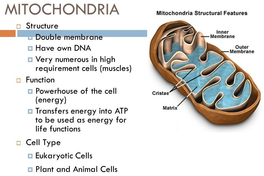 mitocondria essay Mitochondria essay while the free essays can give you inspiration for writing, they cannot be used 'as is' because they will not meet your assignment's requirements if you are in a time crunch, then you need a custom written term paper on your subject (mitochondria) here you can hire an independent writer/researcher to custom write you an authentic essay to your specifications that will pass.