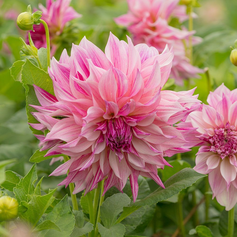 Dahlia Café Au Lait Royal Late Summer Flowers White Flower Farm Dahlia