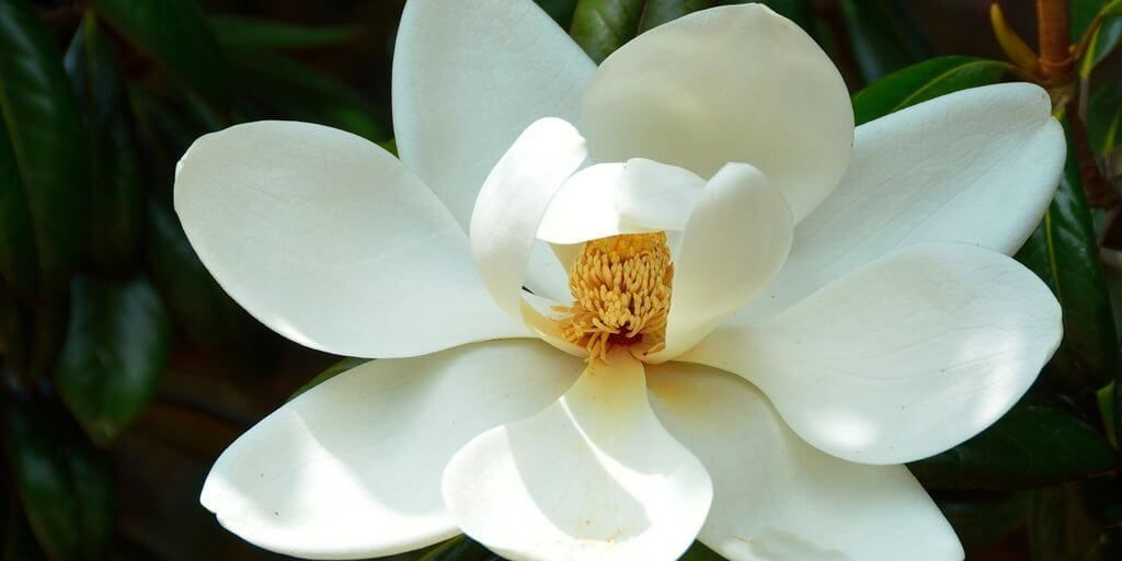 Magnolia Bark Magnolia Officinalis Is A Traditional Chinese Medicine Used Since 100 A Magnolia Flower White Magnolia Tree Magnolia Trees