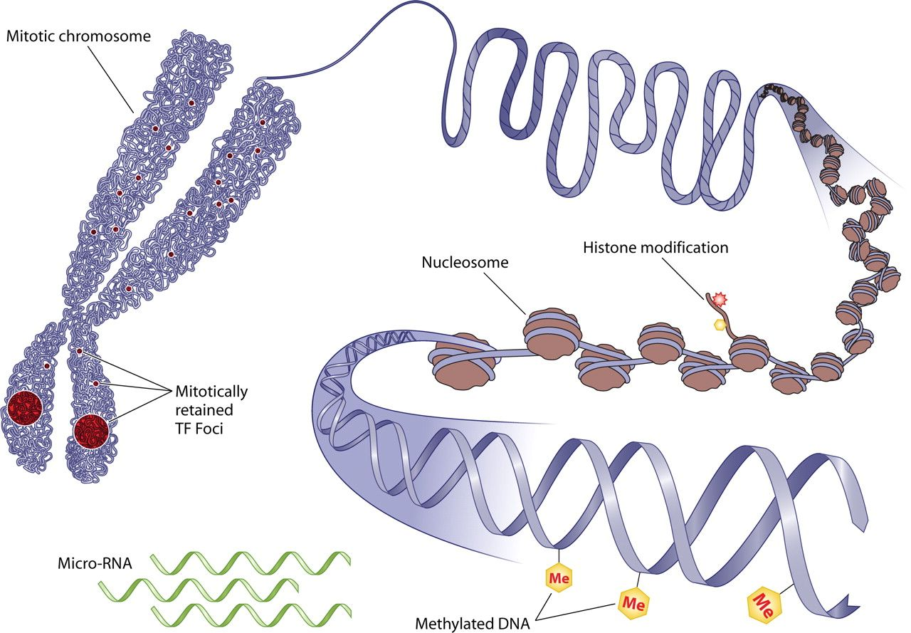 Epigenetics Outer Genetics The Study Of Changes In Gene Expression Or Cellular Phenotype
