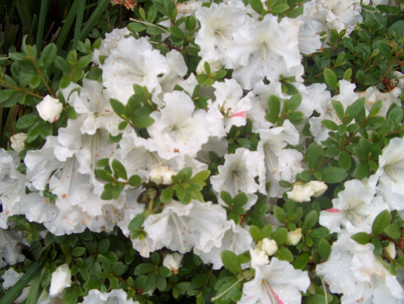 Anisti Ibuno Flowers Gumpo Azalea Azaleas White Azalea Plants