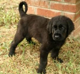 Bradley is an adoptable Newfoundland Dog Dog in Salem, NH. Meet Bradley, this sweetie is just as sweet as he can be. His mom is a mastiff mix, and we think dad is a Newfoundland. He will be a large to...