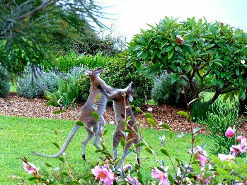 Kangeroe