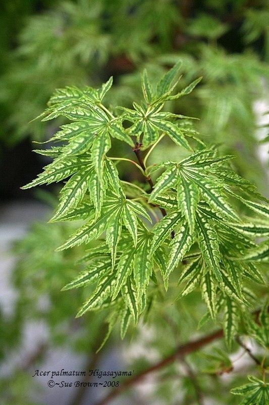 Acer palmatum 'Higasa yama' #japanesemaple