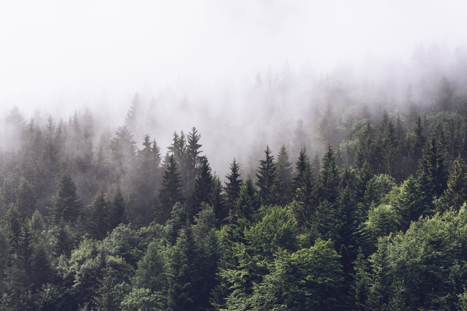 Permalink to Foggy Evergreen Forest Wallpaper