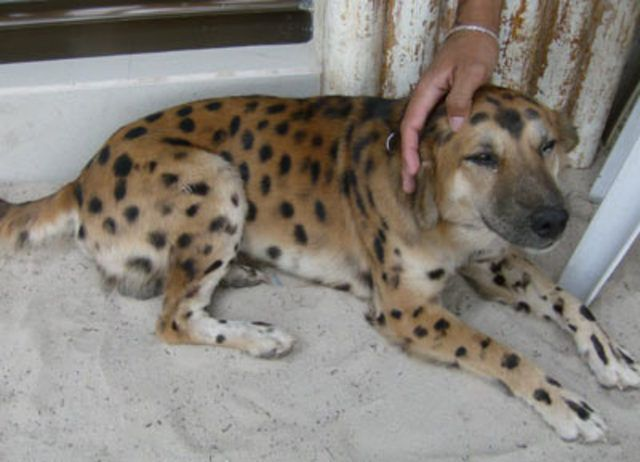 Unknown Breed Of Dog German Shepherd Mix Puppies Dalmatian Mix Dogs