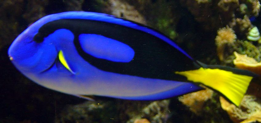Pacific blue tang paracanthurus hepatus tropical blue for Blue saltwater fish