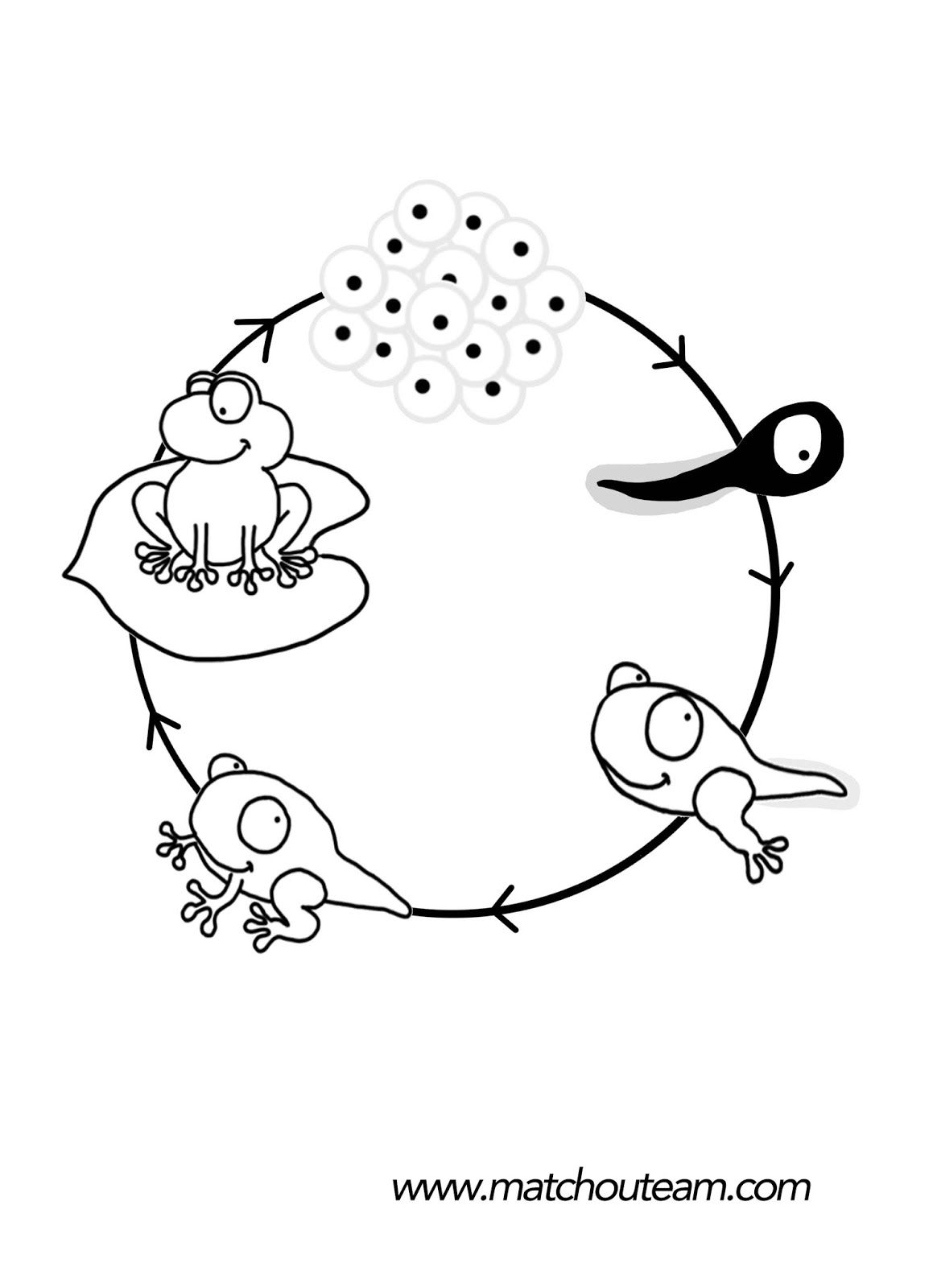 Mini livre sur le cycle de vie de la grenouille fr sch - Coloriage de crapaud ...