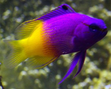 Royal Gramma Colorful Fish Pretty Fish Beautiful Sea Creatures