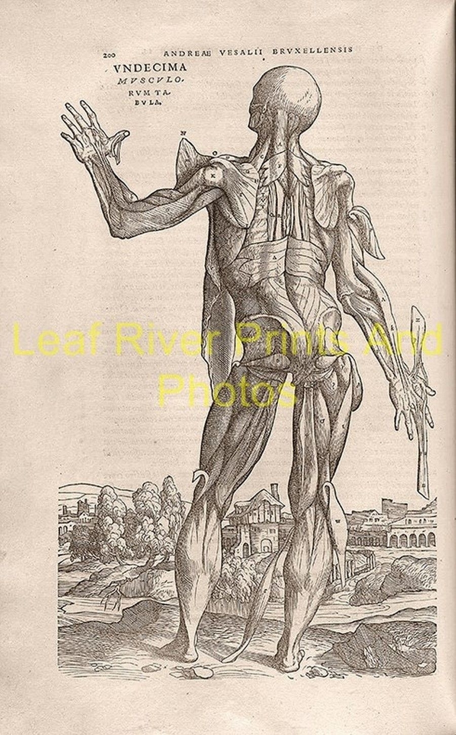 latest addition Anatomy – Andreas Vesalius 1543o | Leaf River Prints ...