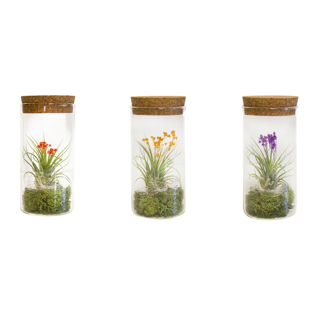 Ikebana 3pk Living Air Plants In Decorative Gl Containers Livetrends Design