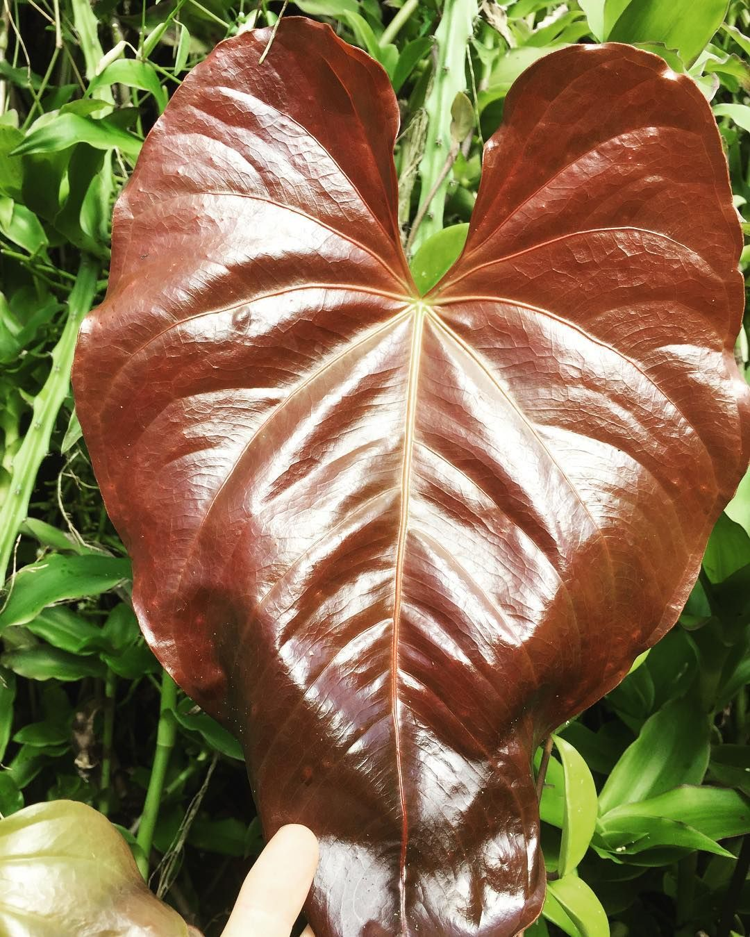 Red Leaf Anthurium Instaplant Instaflower Plantagram Plantofinstagram Plant Leaves Anthurium Plants