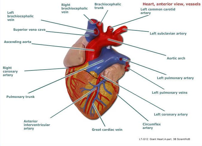 Pin by Christina Baires on Anatomy/Physiology | Pinterest | Anatomy