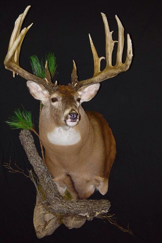 Whitetail Awesome Mount Taxidermy Pinterest