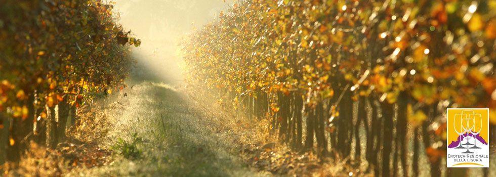 Le vigne della Liguria...