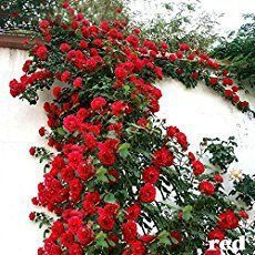 Guide for Climbing Roses
