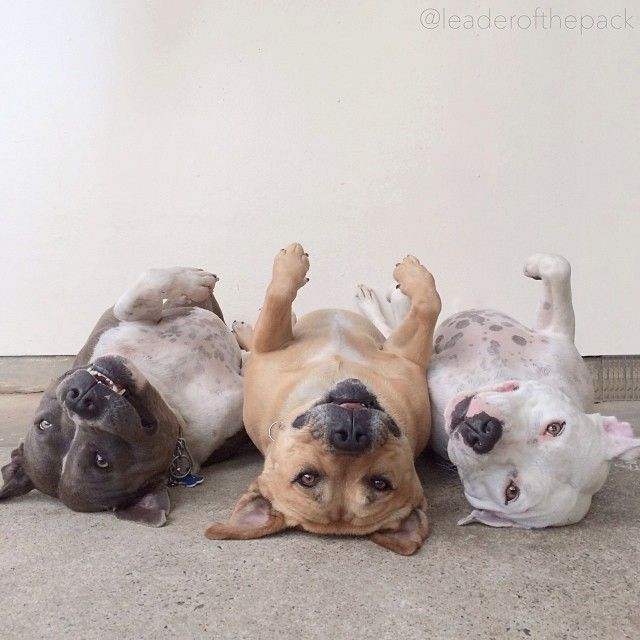 Omg it's us... In Pit Bulls form.  It's me, Mikayla, Alysia. (I mean... Unless Alysia wants to be black.)  ♥♥♥