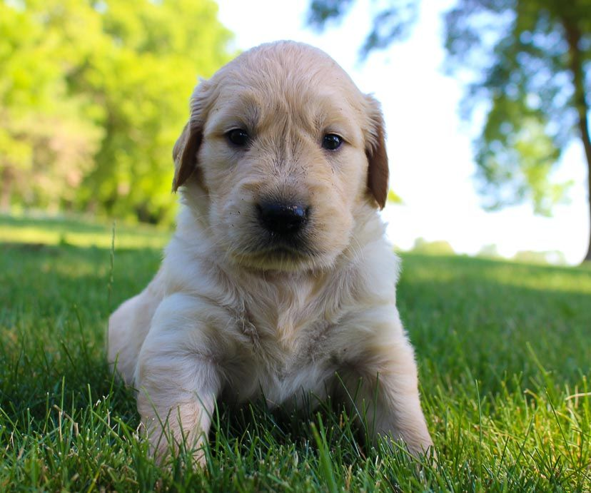 Pin On Golden Retriever Puppy Puppies Dogs For Sale