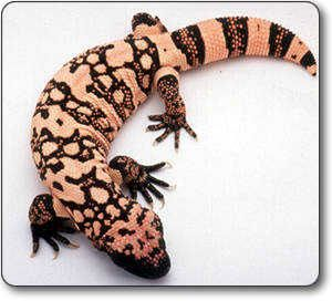 Gila Monster One Of 2 Venomous Lizards Most Its Teeth Have Grooves That Conduct The Flow Poison