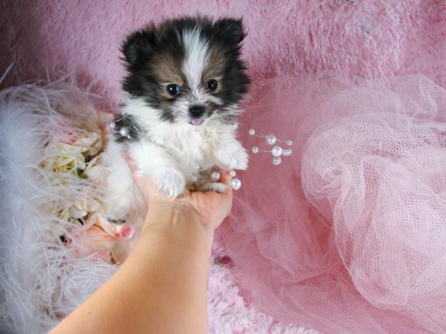 Teacup Pomeranian Puppy For Sale In Indiana Pomeranian Puppy