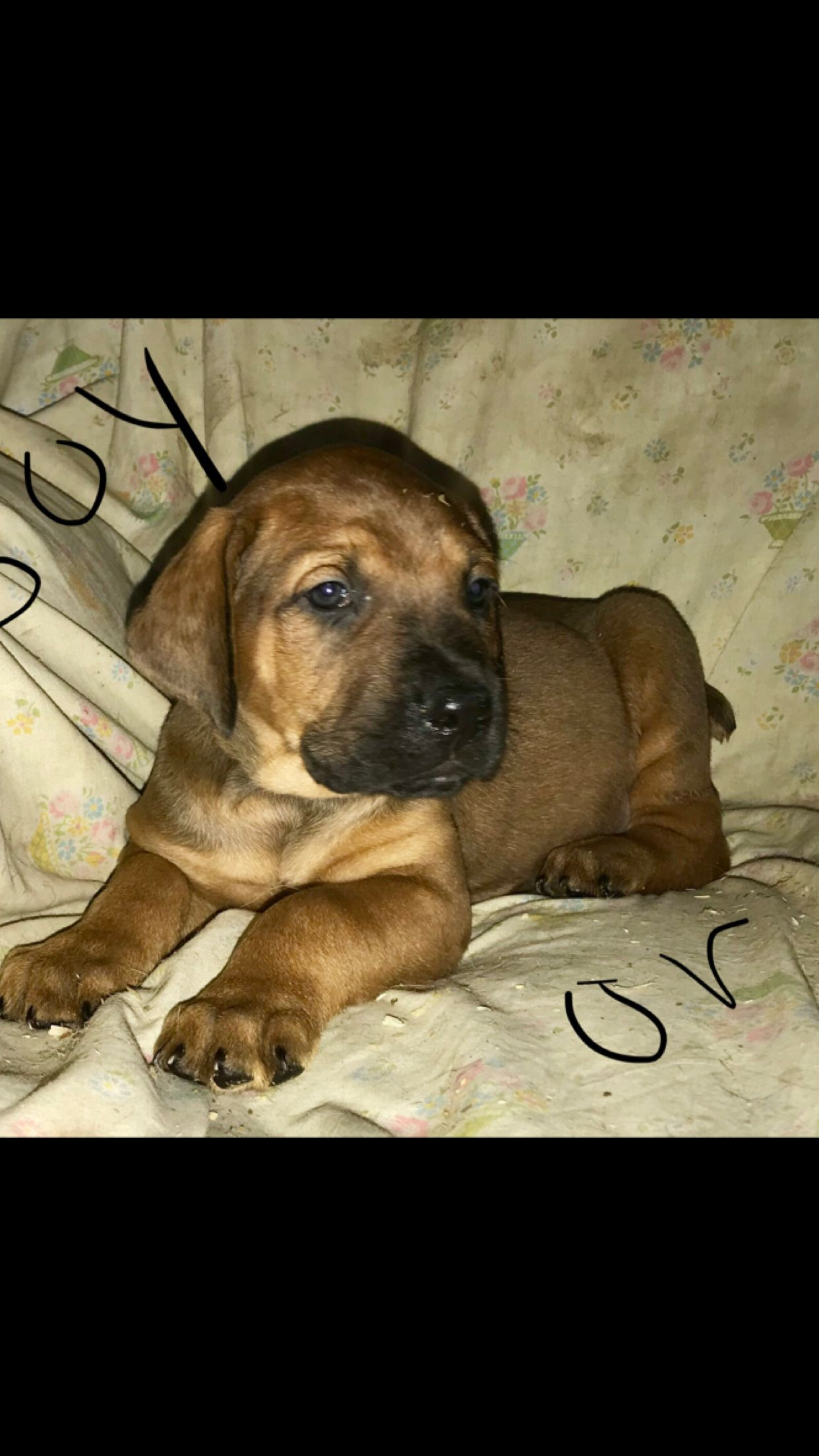Pin By Kimberly Braun On Mastiff Doberman Puppies For Sale