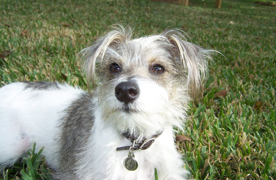 Schnauzer Mix Breeds Mutts Are Us the Rise of the Mutt