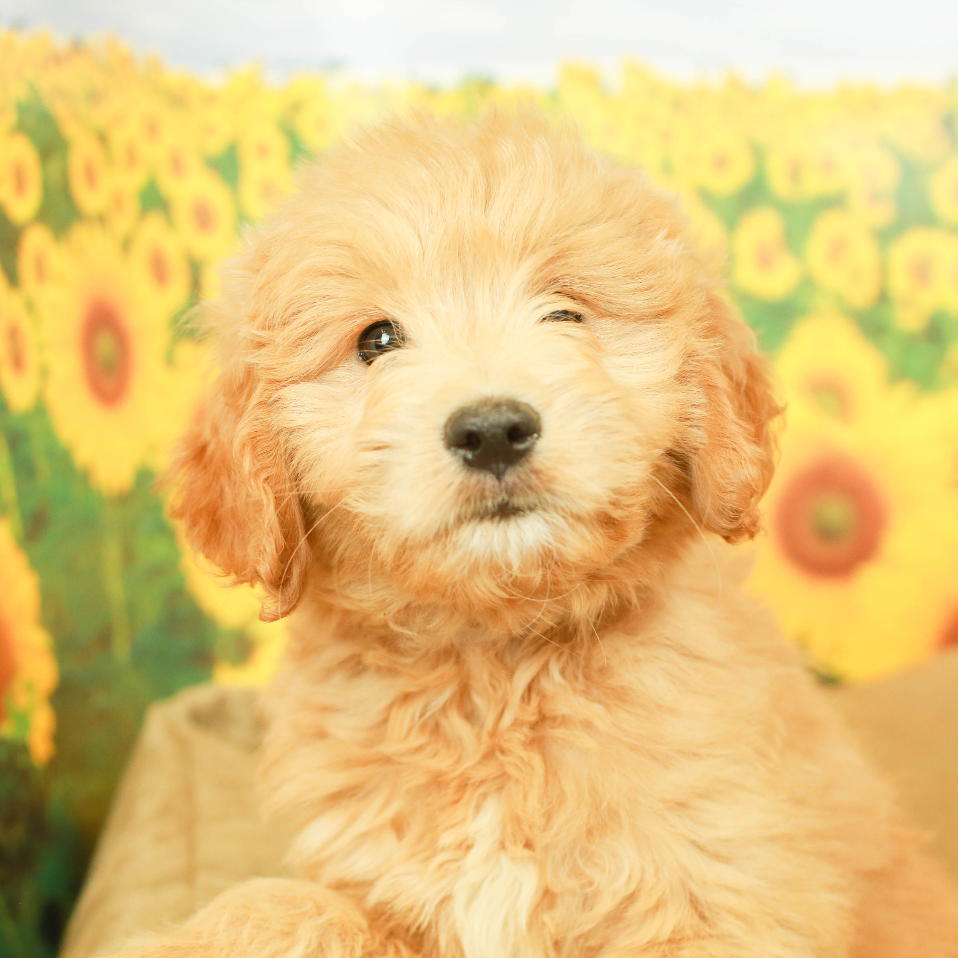 Mini Goldendoodle Puppy Mini goldendoodle puppies