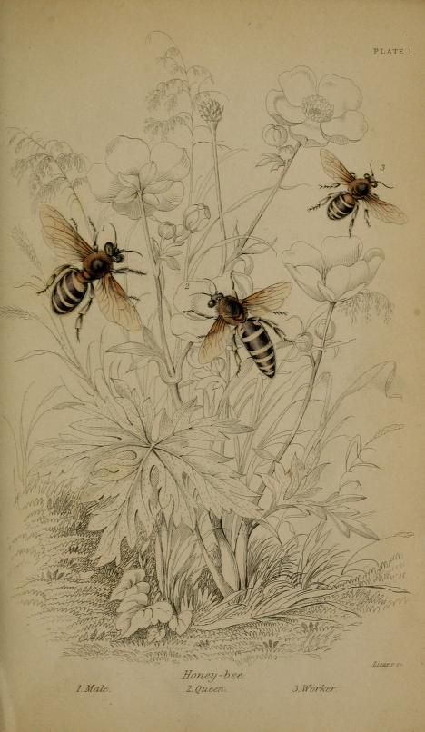 Bees, botanical print, The Naturalist's Library