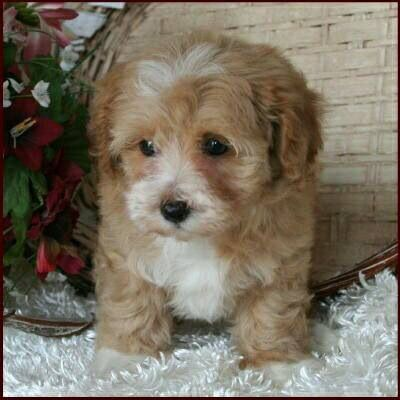 Pin By Melanie Taylor On If I Like It S Mine Maltipoo Puppy Maltese Poodle Puppies Poodle Puppy
