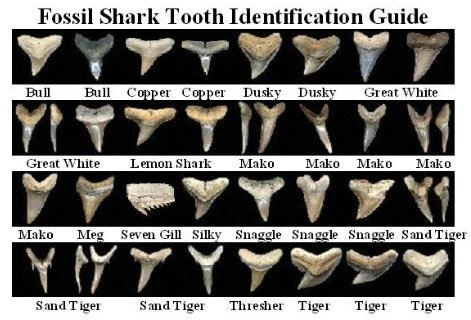 Shark tooth diagram data wiring diagrams shark teeth identification sharktooth shark teeth world rh pinterest com fossilized shark teeth guide shark jaw and teeth diagram ccuart Images