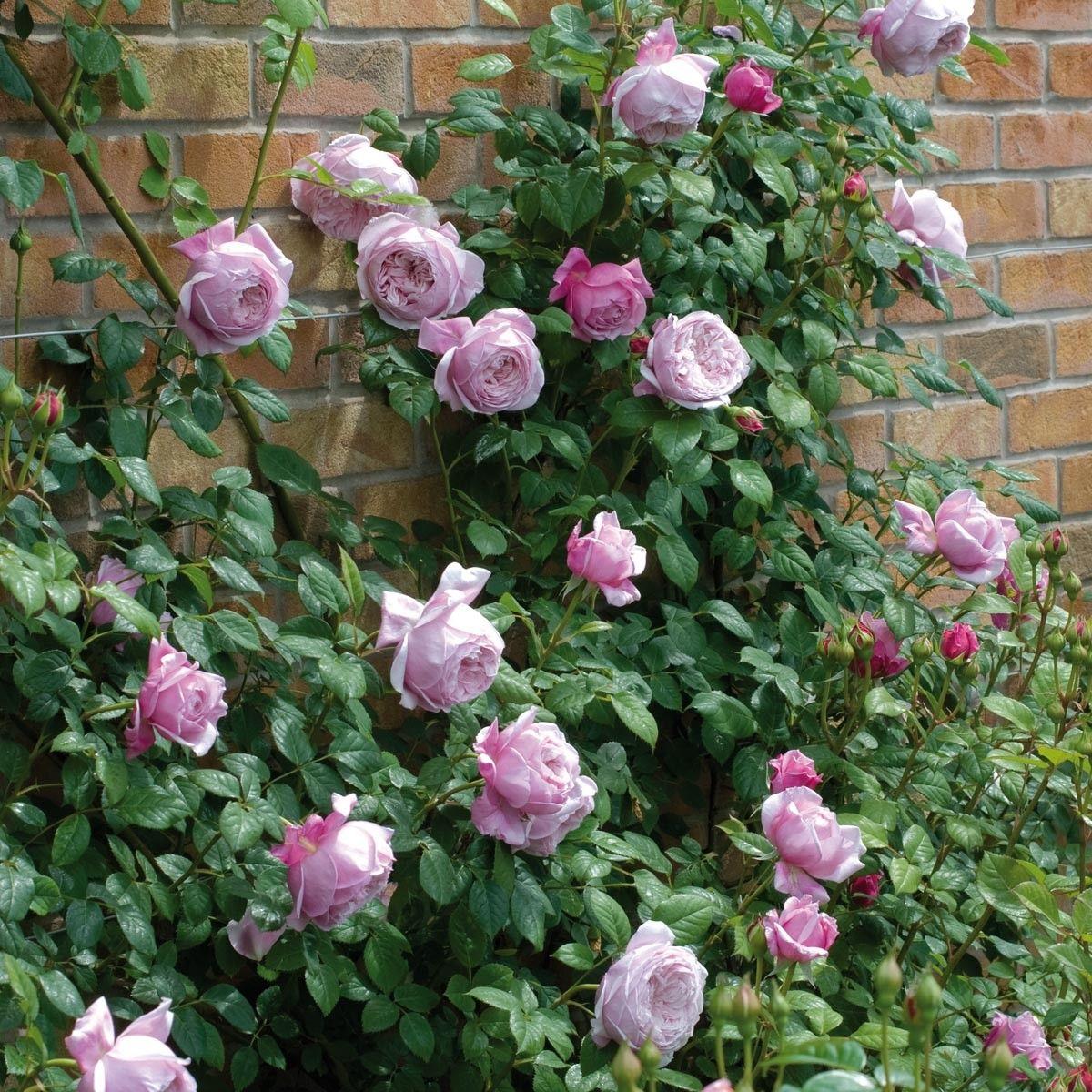 Spirit of freedom роза