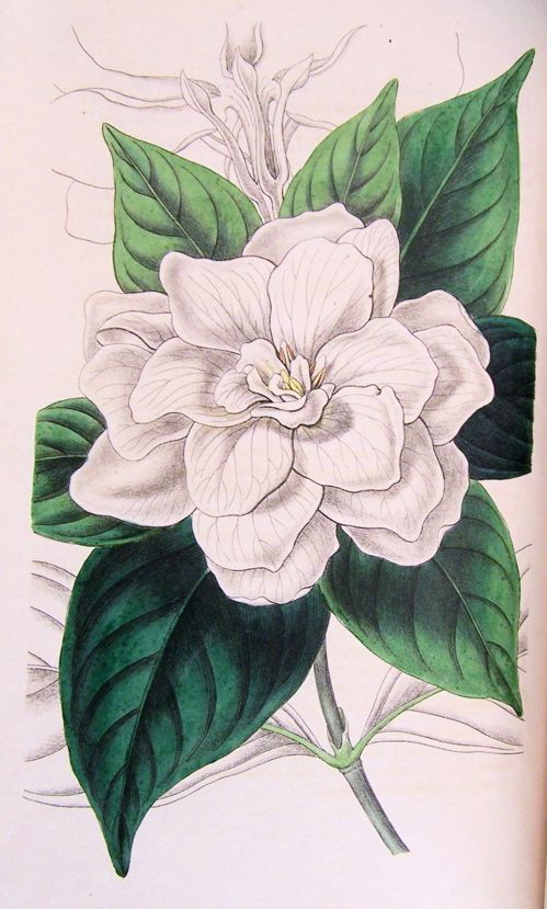How To Draw A Gardenia : gardenia, Gardenia, Drawing, Figured, Glossy, Lance-shaped, Leaves, Large,, Double, White, Flower, Tattoo,, Drawings,, Botanical