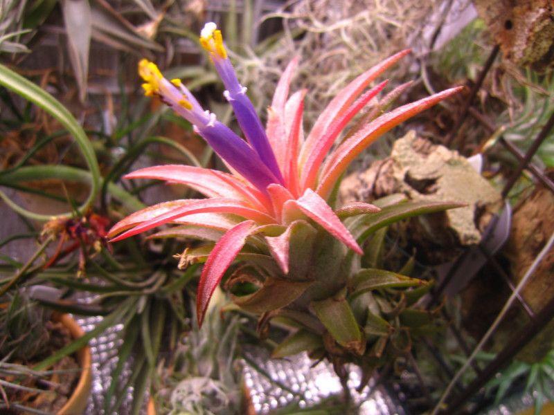 イオナンタ・バンハイニンギーの開花 チランジア+エレクトロニクス