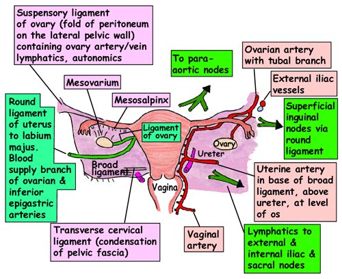 Image result for uterus ligaments anatomy | usmle step 1 pics ...