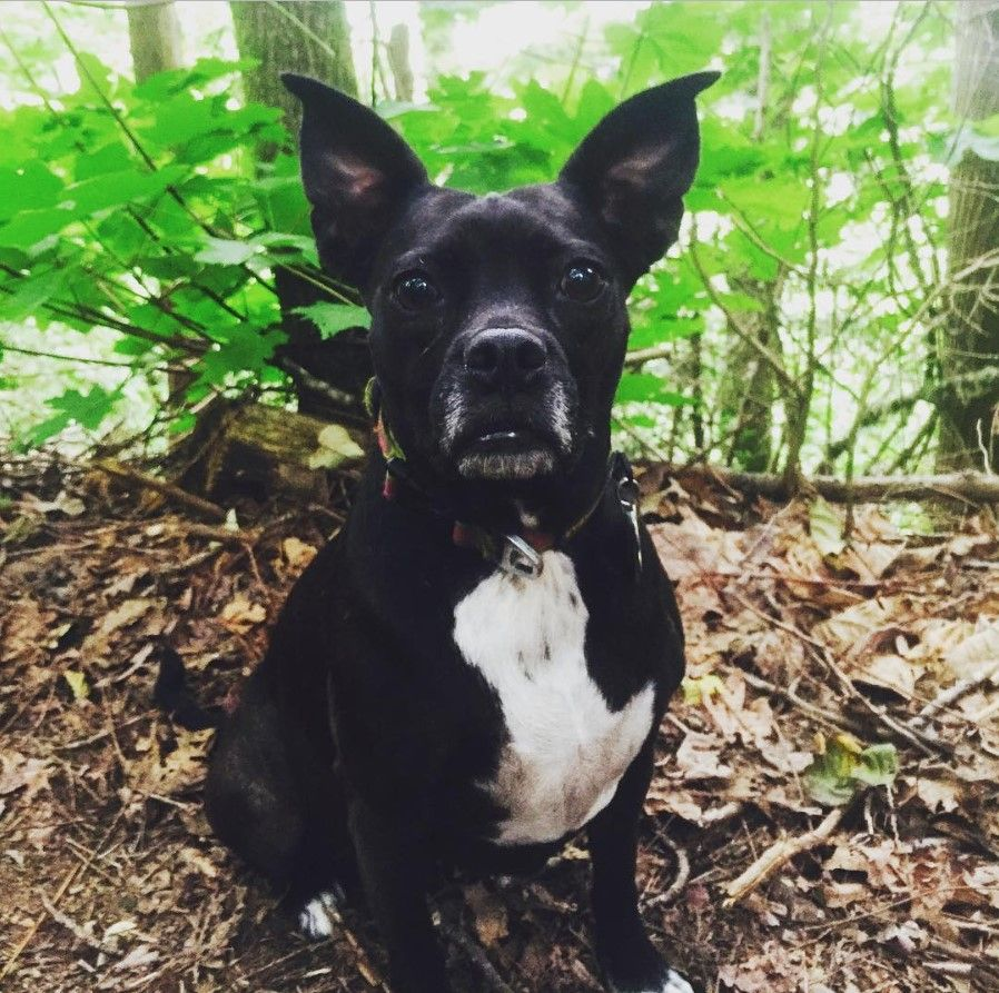 24 Pit Bulls Mixed With Boston Terrier Pitbull Terrier American