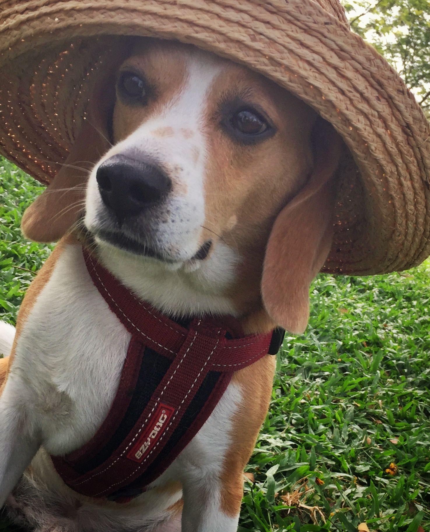 Amazing Beagle Chubby Adorable Dog - 716bc064226a3b0aa76055ef41eb1c80  Image_16946  .jpg