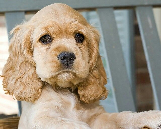 Cocker Pup Cj Says She S Tired Of Posing American Cocker Spaniel