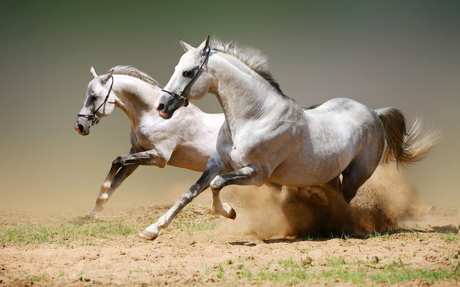 Horses Hd Animal Wallpaper With White Horses Running Fast Horse