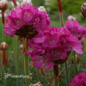 Armeria sea pinks pretty flowers pinterest petunias armeria sea pinks mightylinksfo