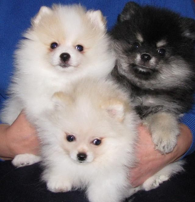 Lovable Pomeranian Puppies For Adoption Pomeranian Puppy White Pomeranian Puppies Westminster Dog Show