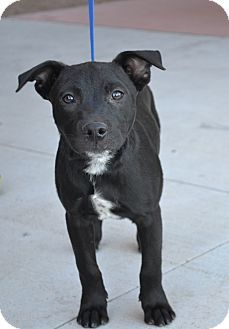Chandler Az Australian Cattle Dog Labrador Retriever Mix Meet