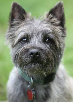 About Toto Dorothy S Dog Wizard Of Oz Fun Facts Cairn Terrier
