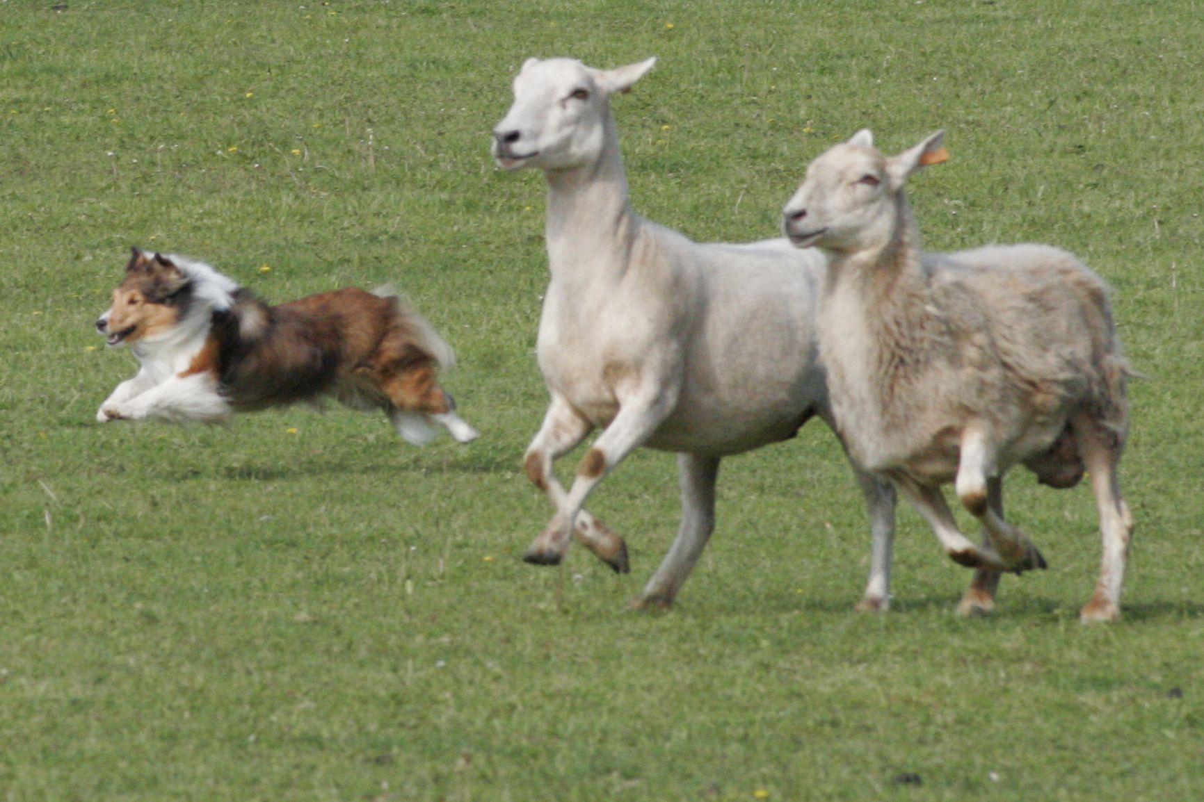 A shetland sheepdog herding sheep! Shetland sheepdog