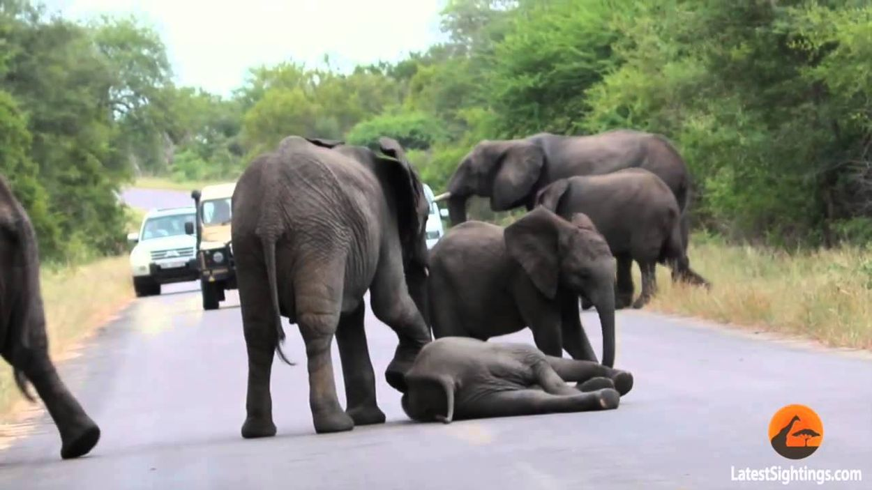 Herd Of Elephants Helps An Elephant Calf After It Collapses On The Road Elephant Elephant Love Cute Baby Animals