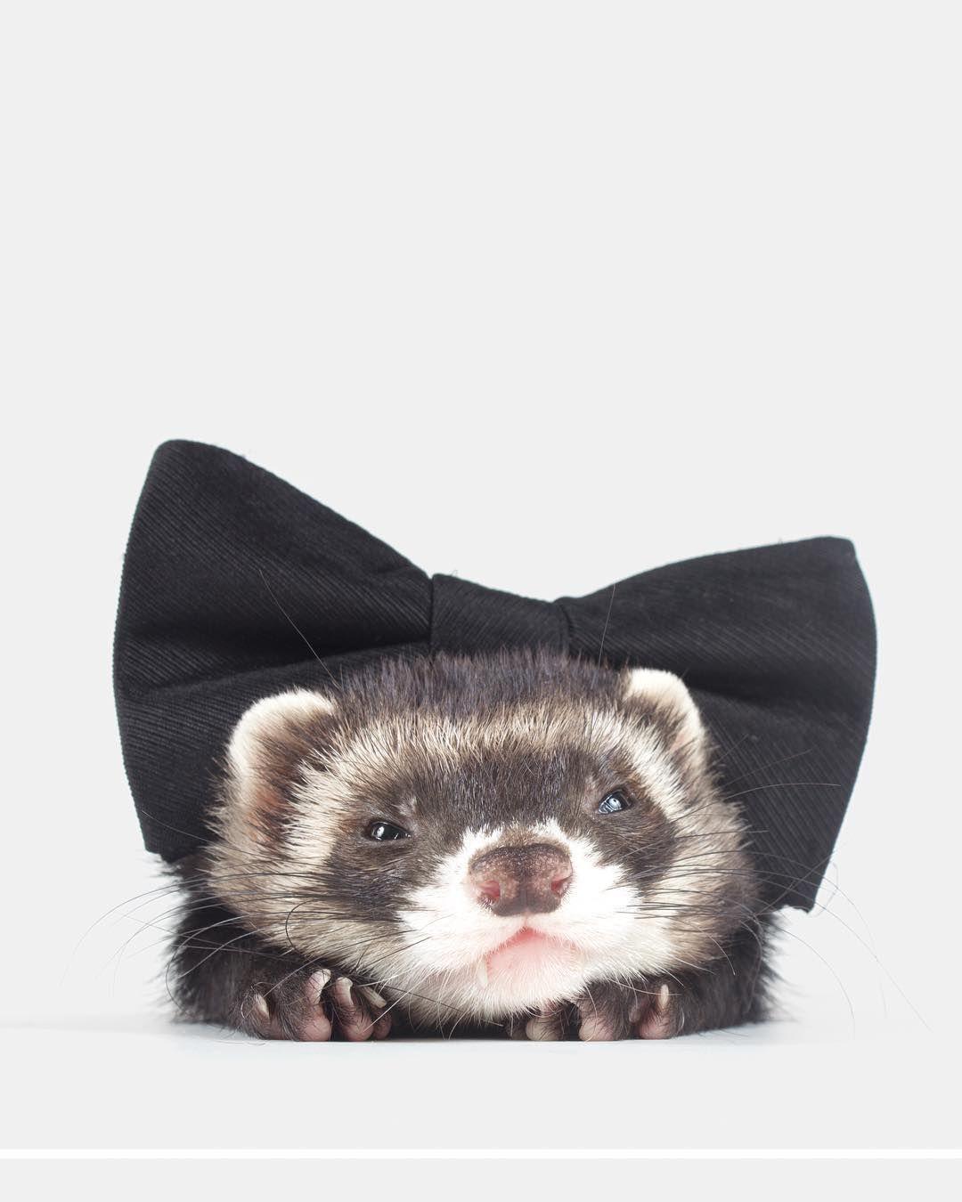 Ferret Video In 2020 Cute Ferrets Ferret Cute Little Animals