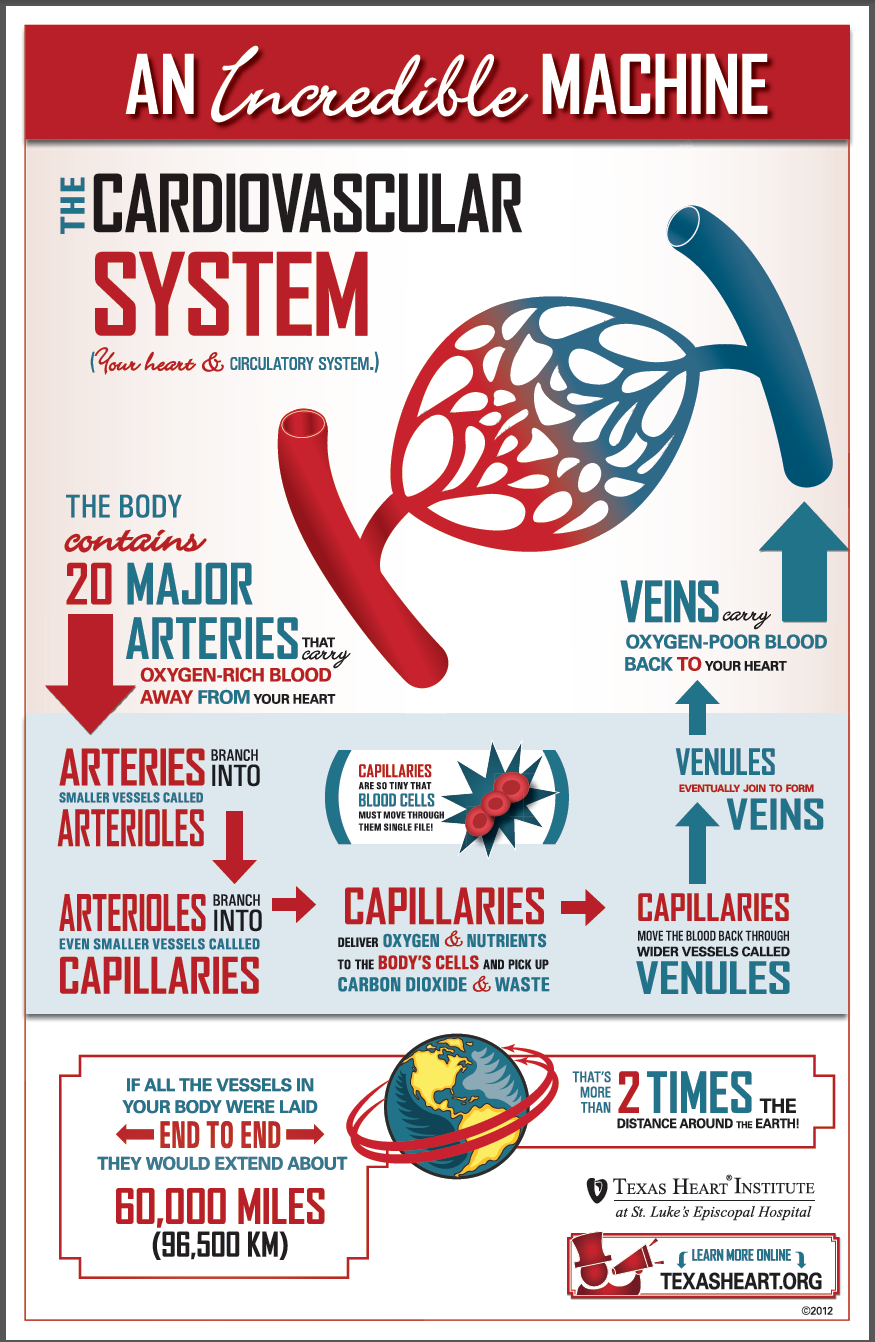 Fun Facts About The Cardiovascular System Cardio Images