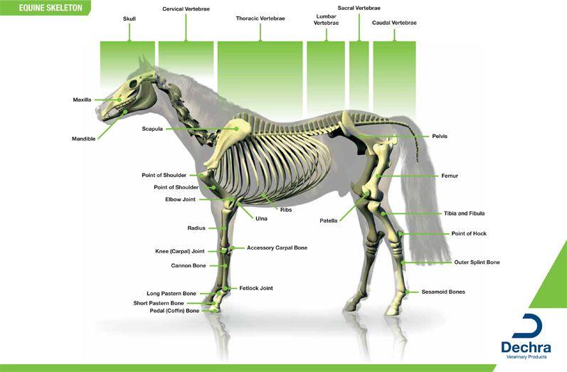 Enlargement Of The Equine Skeleton Chart Equine Science