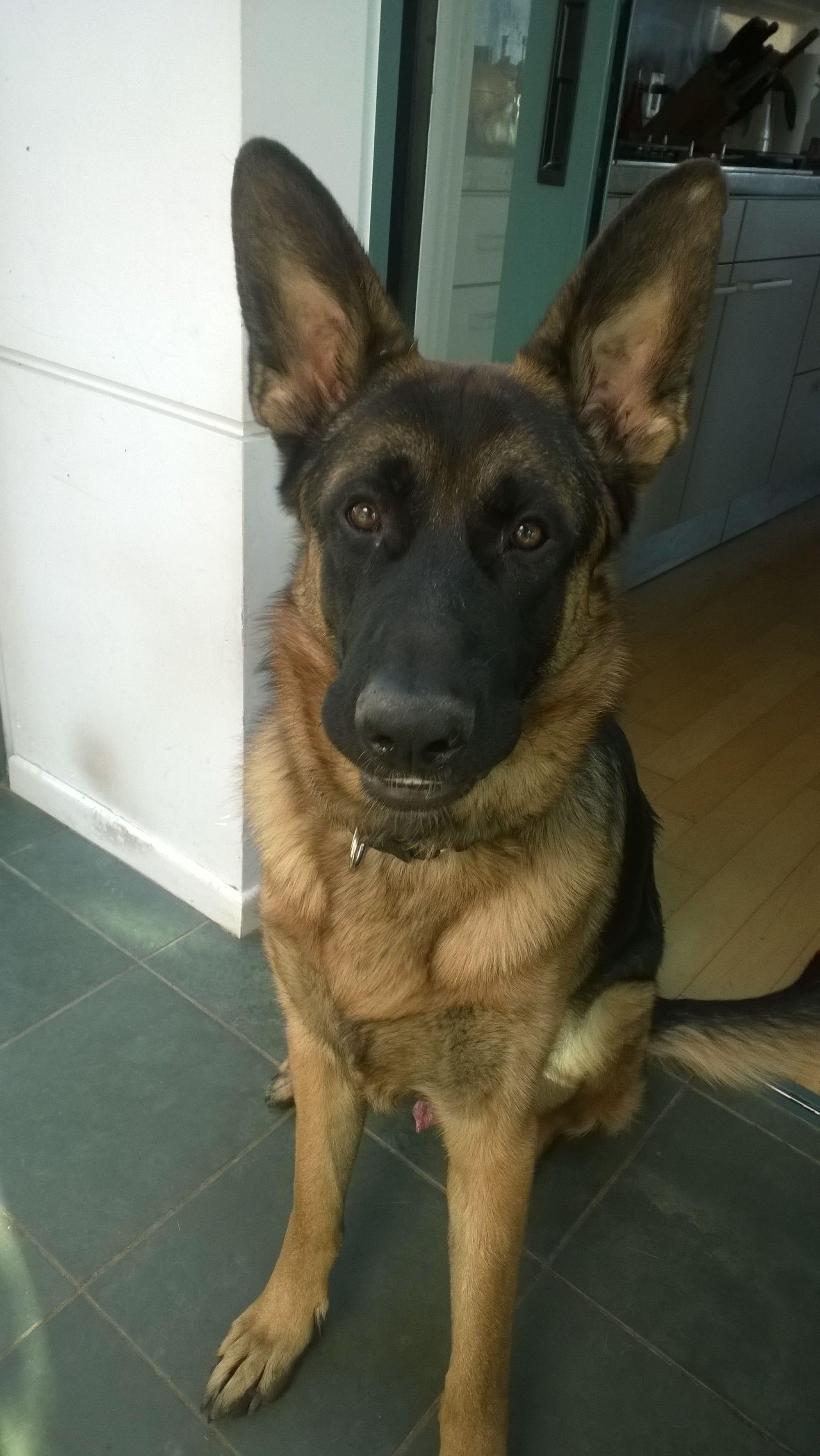 Pin By Laura Bravo On My German Shepherds German Shepherd Dogs Domestic Dog German Shepherd