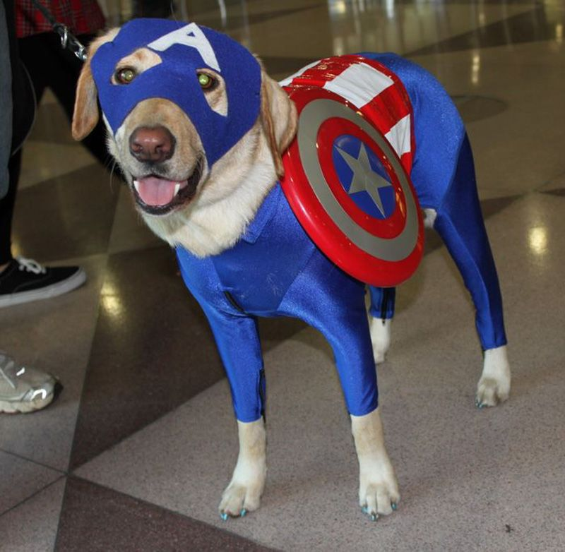 Captain America Dog Cosplay Pet Costumes Dog Halloween Costumes Cute Dog Costumes Are you a marvel cinematic universe super fan? dog halloween costumes cute dog costumes
