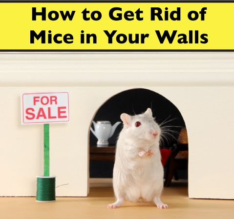 How To Get Rid Of Mice In Walls Get Mice Out Of Walls And Air Ducts Getting Rid Of Mice Getting Rid Of Rats Dead Mouse